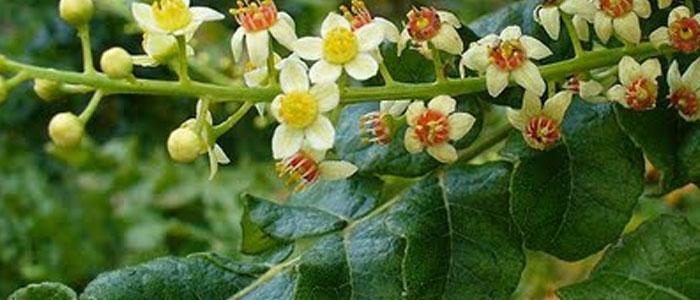 Boswellia-Serrata